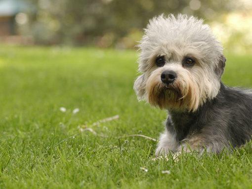 Sunjoy's Dandie Dinmont Terrier